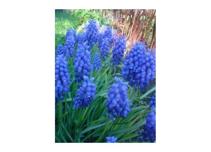 niebiesko w ogrodzie