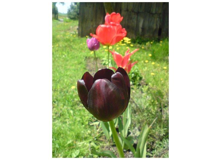 czarny tulipan